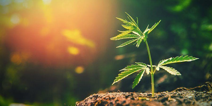 Hay Demasiada Luz Solar Cannabis