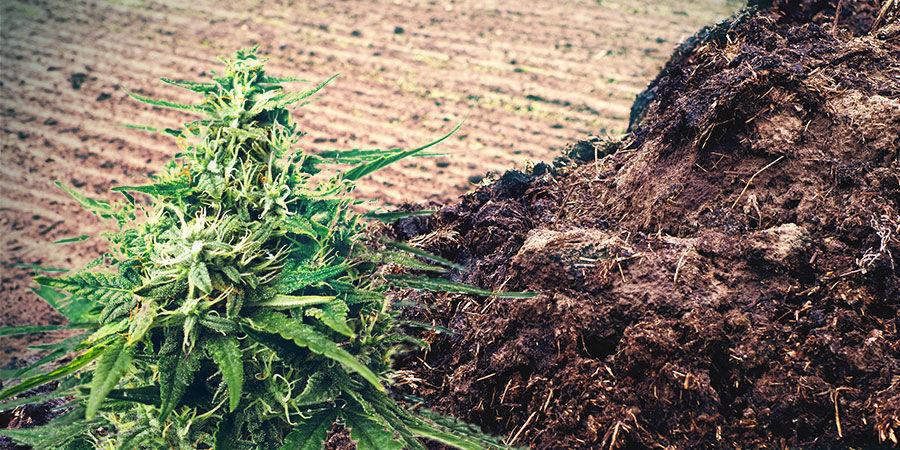 Estiércol U Orina Abono Cannabis