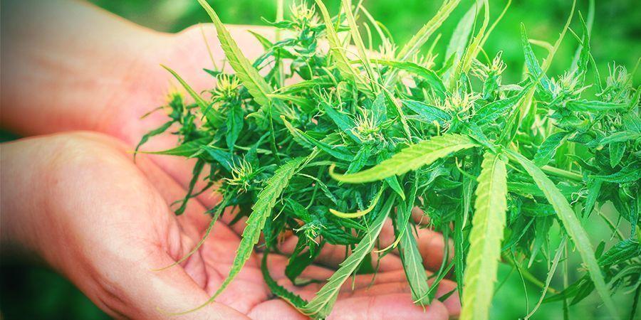 ¿Por Qué La Cosecha Es Una Fase Crucial Del Cultivo De Cannabis?