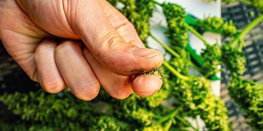 ¿Cuáles Son Las Mejores Variedades De Marihuana Para Hacer Jelly Hash?