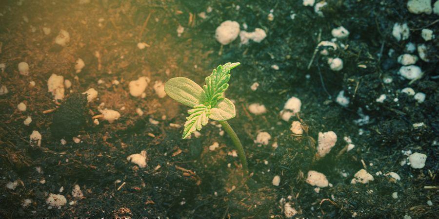 Cómo Cultivar La Silver Haze
