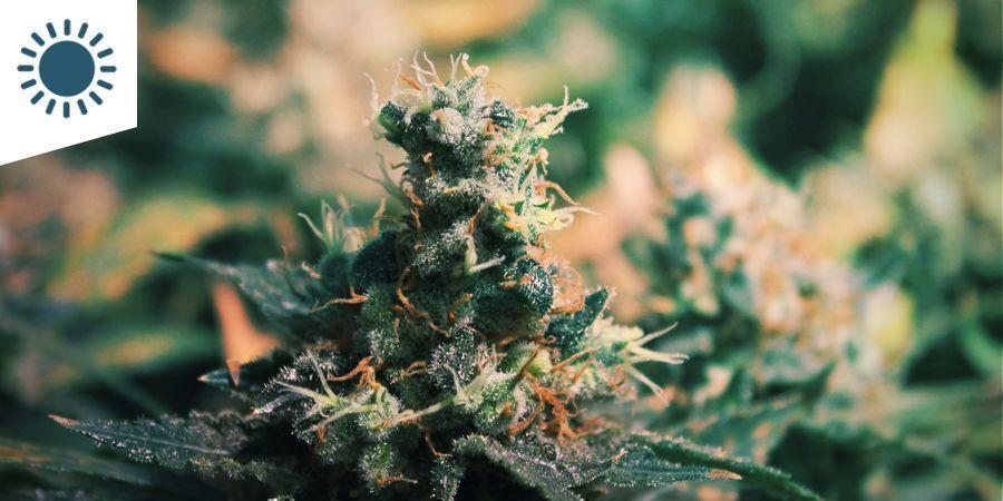 Las Mejores Variedades De Marihuana Para Cultivar En Un Clima Mediterráneo