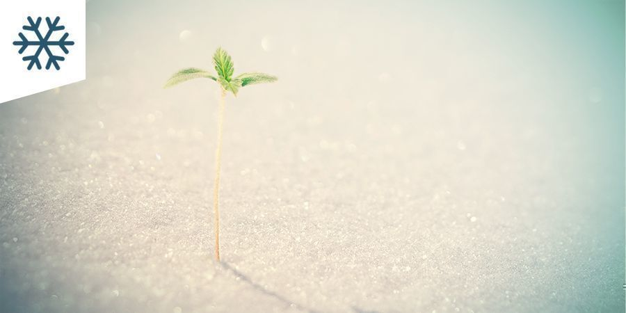 Cultivar Marihuana En Un Clima Frío