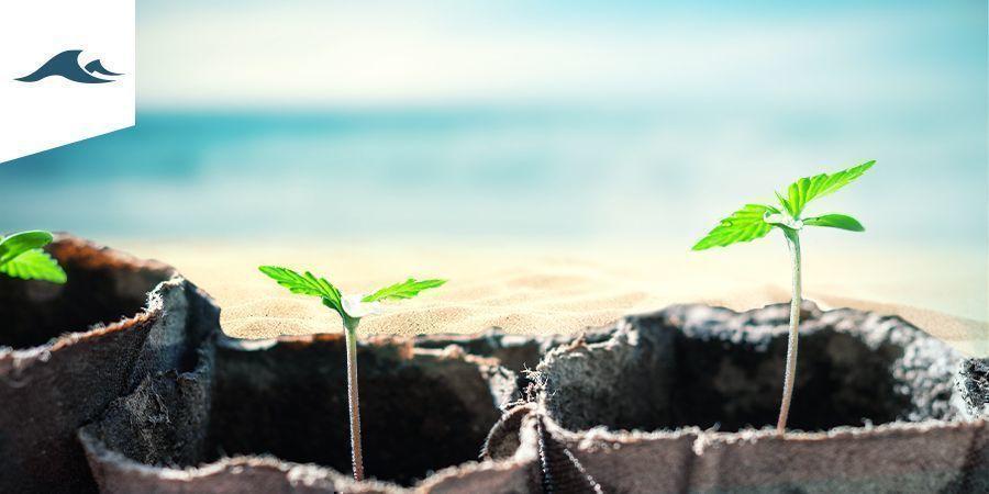 Cultivo De Marihuana En Un Clima Marítimo
