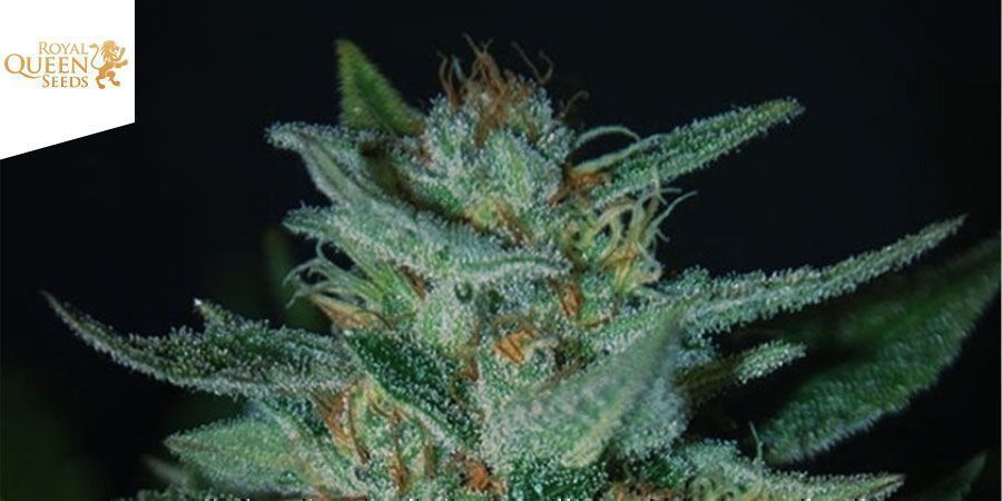 BLUE CHEESE FEMINIZED (ROYAL QUEEN SEEDS)