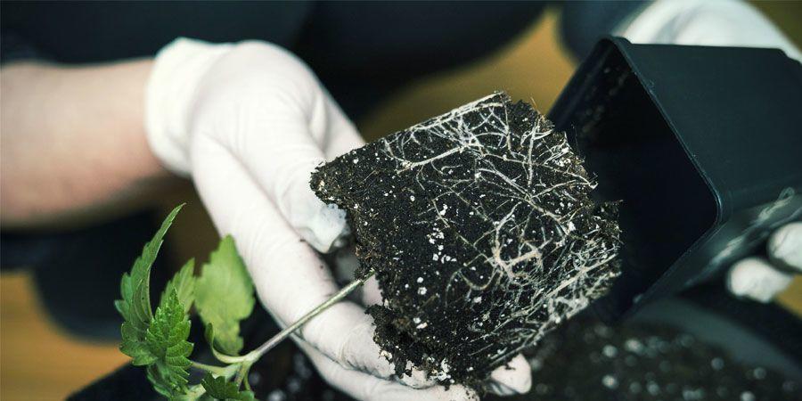 Poda Aérea - Cultivo De Plantas De Marihuana