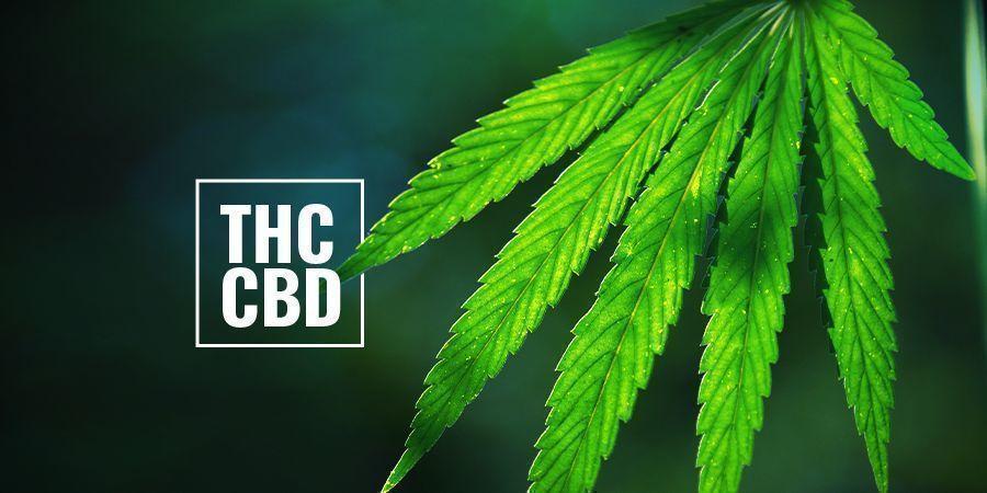 Plantas De Cannabis Con Alto Contenido De THC/CBD