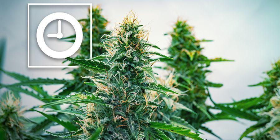 ¿Cómo Funcionan Las Plantas De Cannabis Autoflorecientes?