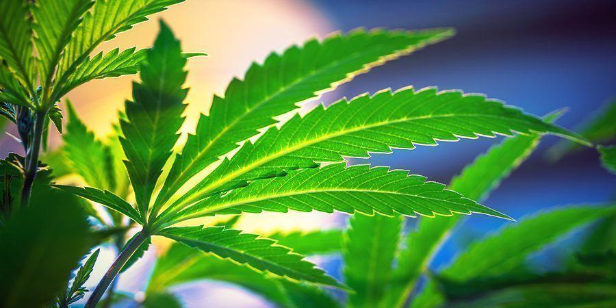 No Hace Falta Cambiar El Ciclo De Luz - Marihuana Autofloreciente