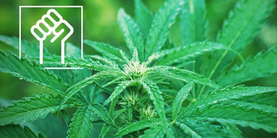 Genética Resistente - Marihuana Autofloreciente