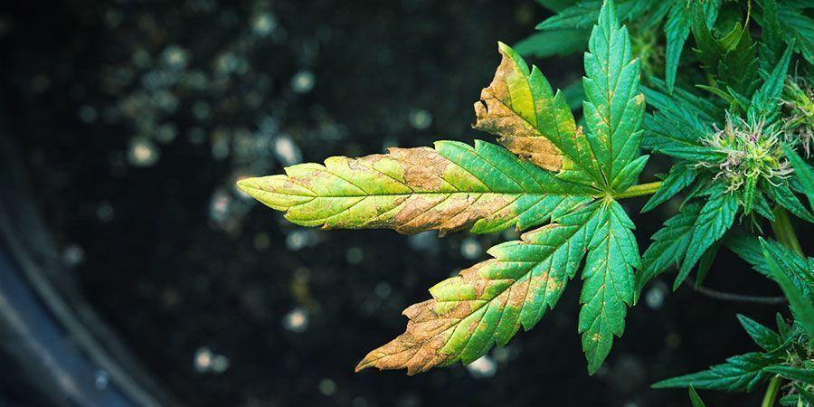 Síntomas De La Infestación De Pulgones De La Raíz En Las Plantas De Cannabis