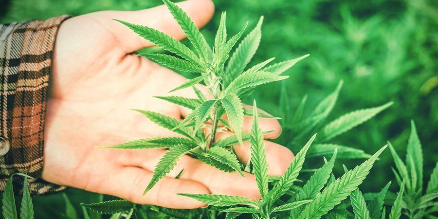 ¿Por Qué Es Importante La Humedad Para El Cannabis?