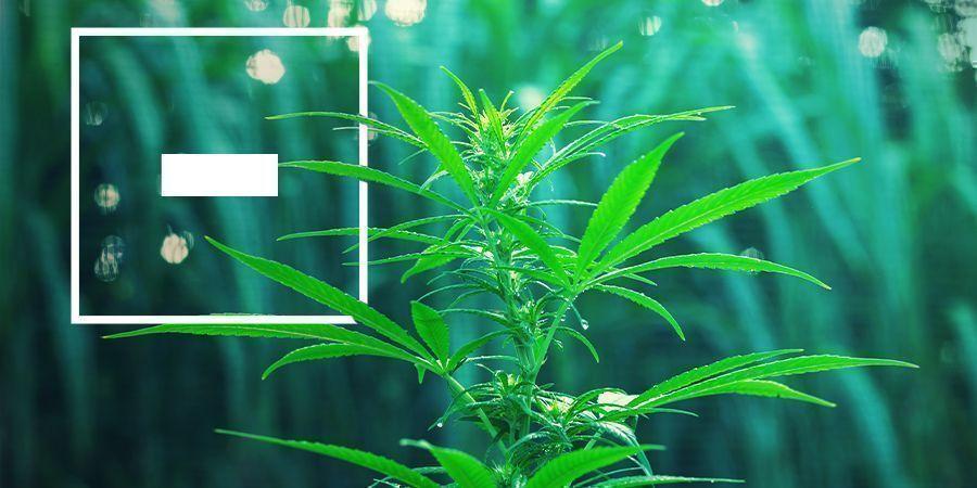 Desventajas De Las Variedades De Marihuana De Floración Rápida