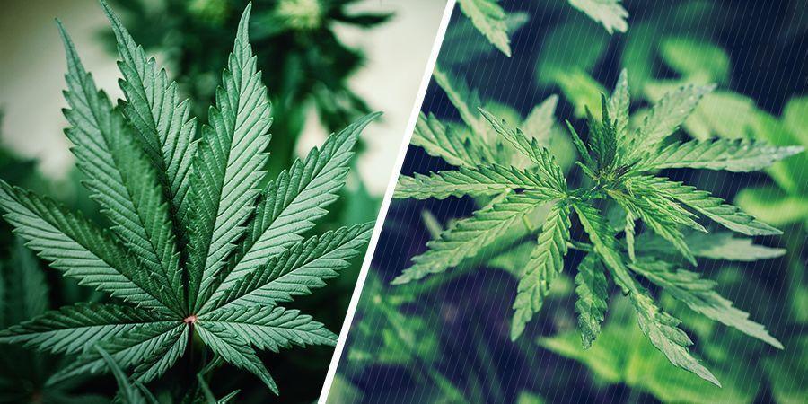 Genética De Las Plantas De Cannabis