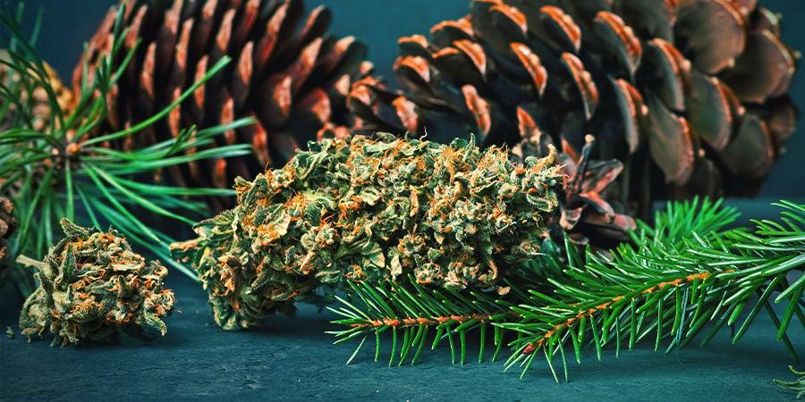 Pineno En Cannabis