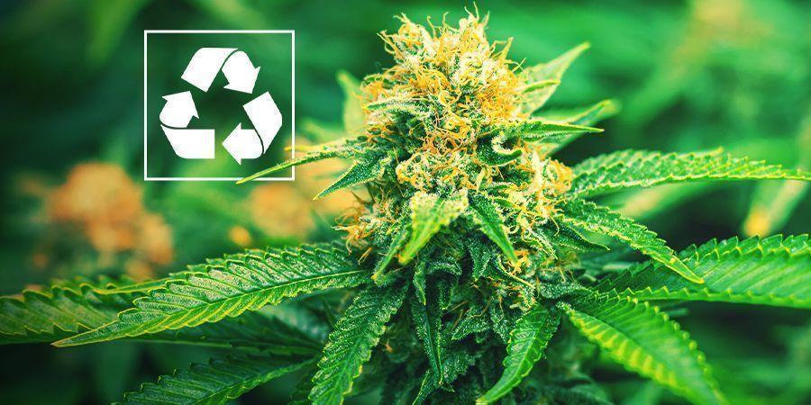 ¿Por Qué Cultivar Marihuana Mediante Acuaponía?