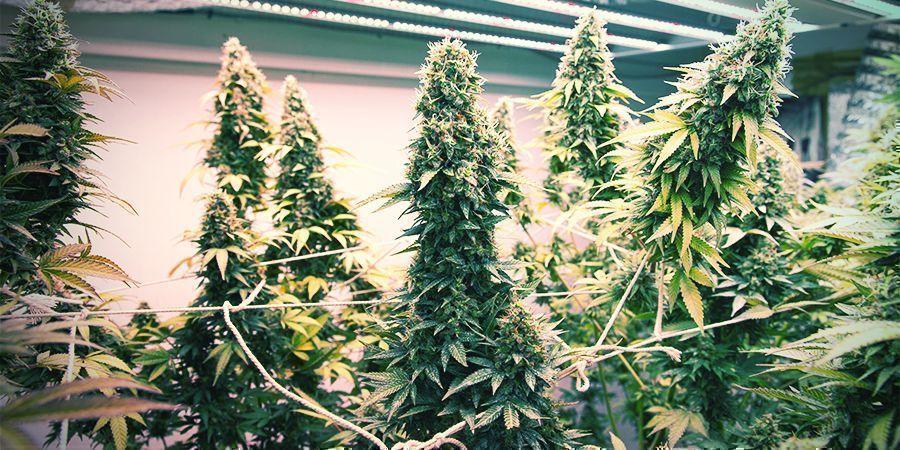 Cómo Hacer Un Sistema De Cultivo Vertical Para Cannabis
