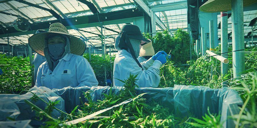 Cultivo Vertical: ¿El Futuro Del Cultivo De Cannabis?