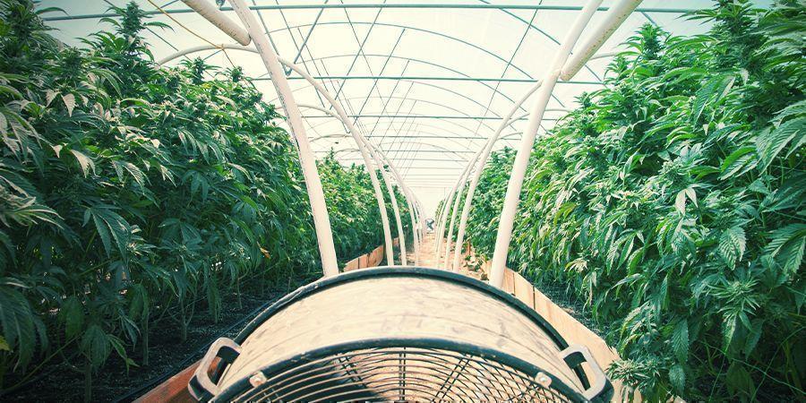 El Cultivo Convencional De Cannabis