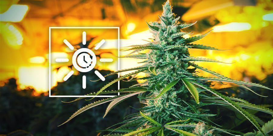 Cambia El Ciclo De Luz Antes De Lo Habitual - Cultivo Vertical De Marihuana