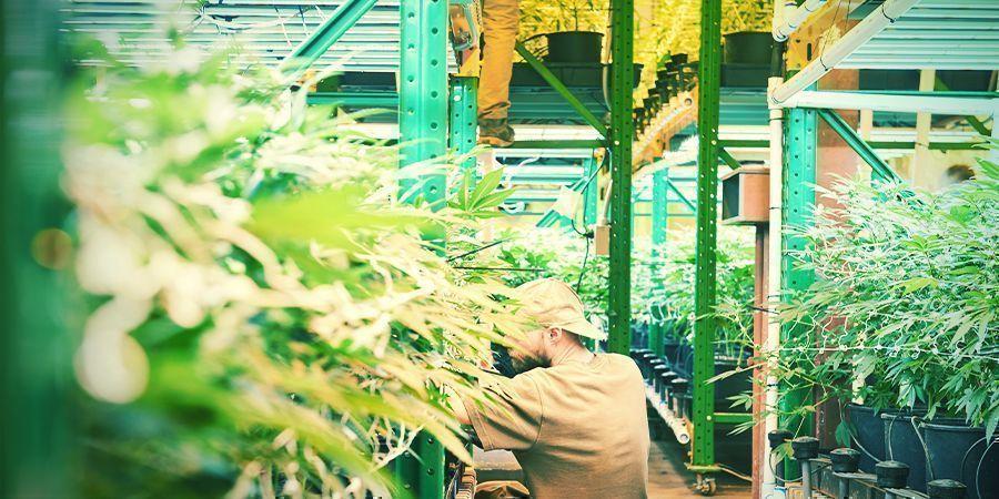 ¿Qué Es El Cultivo Vertical De Marihuana?