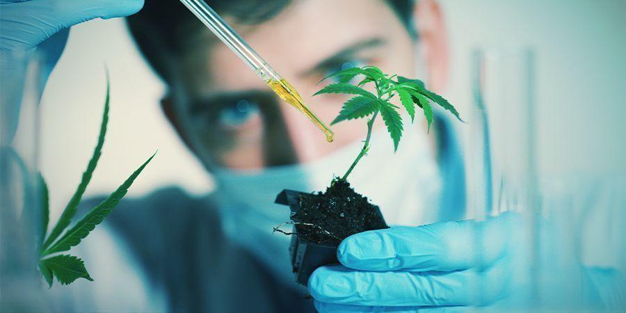 Factores Que Pueden Afectar A La Floración Del Cannabis: Compuestos Químicos Exógenos
