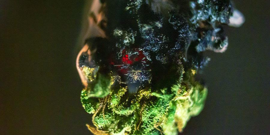 Tipos De Contaminantes Del Cannabis: Fertilizantes Brix
