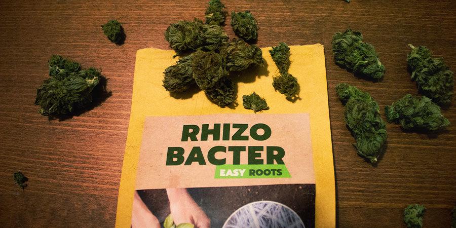 ¿Cómo Promueven Las Rizobacterias El Crecimiento Del Cannabis?