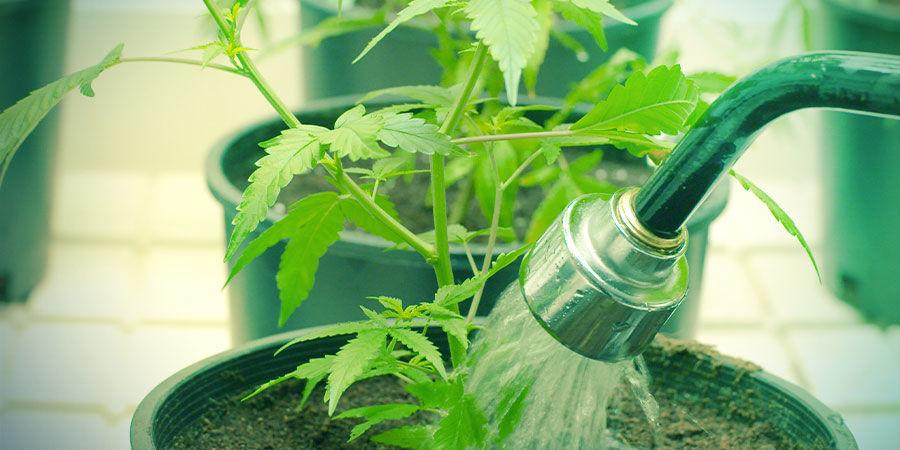 Riego - Cultivar Marihuana
