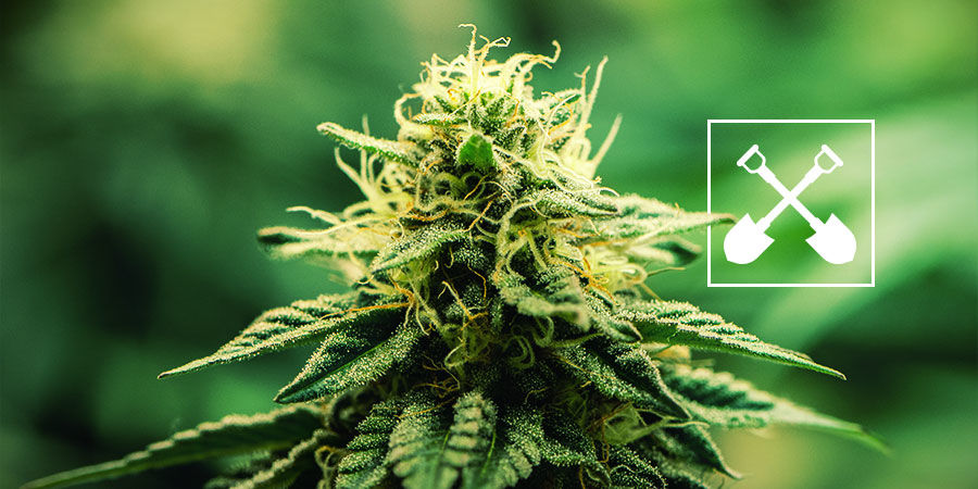 ¿Qué Se Necesita En Cualquier Cultivo De Marihuana?