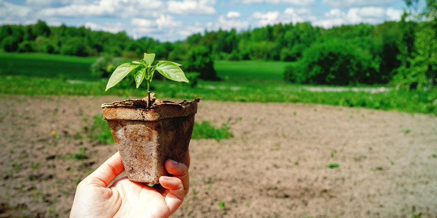 Cultivar Pimientos Para Principiantes: Aclimata Plántulas Pimiento