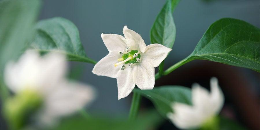 Cultivar Pimientos Para Principiantes: Quita primeras flores