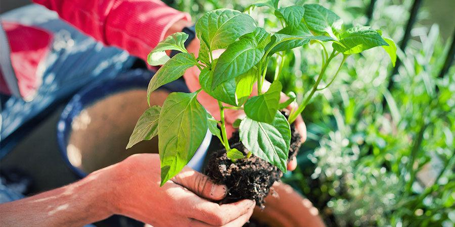 Cultivar Pimientos Para Principiantes: Trasplanta Y Riega Plántulas