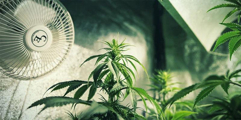 Controlar La Floración Del Cannabis Con Privación De Luz: Asegura Una Ventilación Adecuada