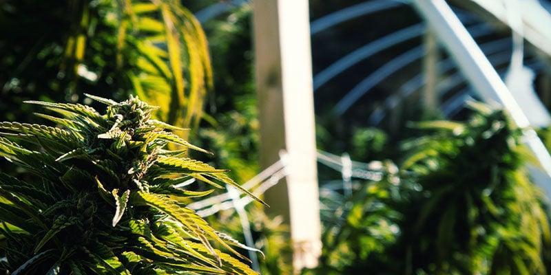 Cómo Usar La Privación De Luz Para Controlar La Floración Del Cannabis: Cultivo Exterior