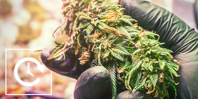 Controlar La Floración Del Cannabis Con Privación De Luz: Pros Y Contras De La Privación De Luz