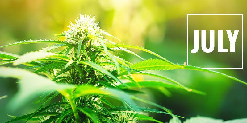 Controlar La Floración Del Cannabis Con Privación De Luz: ¿Cuándo Empezar A Aplicar La Privación De Luz?
