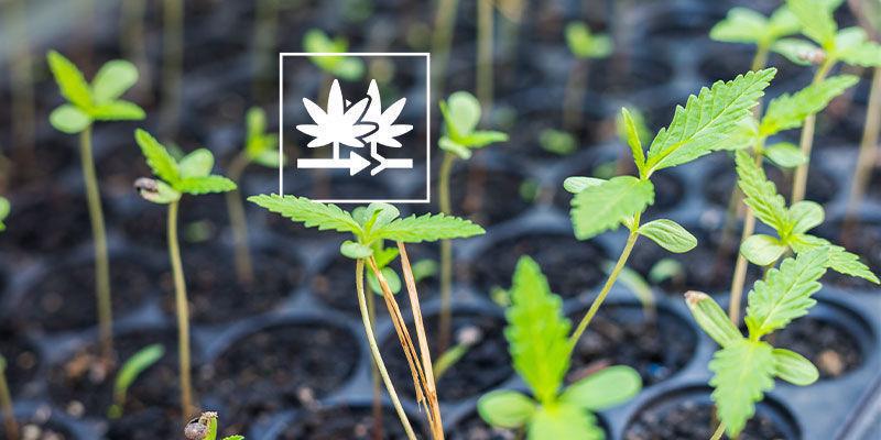 ¿Por Qué Cultivar Semillas Marihuana Regulares?