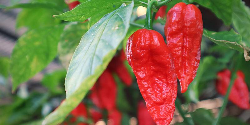 Cultivar Naga Jolokia: Instrucciones