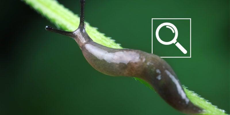 Cómo Detectar Las Babosas Y Caracoles En Las Plantas De Marihuana