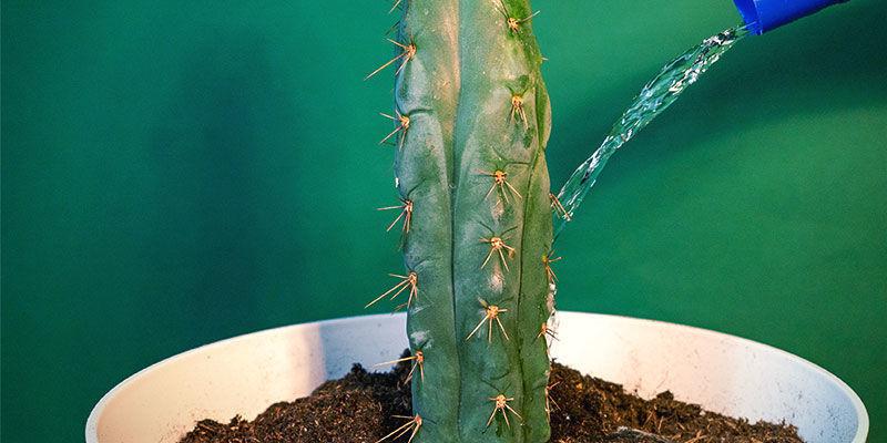 Mantenimiento Del Echinopsis Zamnesiana