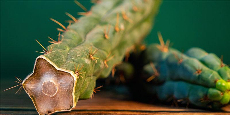 Cómo Reconocer El Echinopsis Zamnesiana