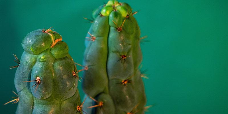 ¿Qué Es El Echinopsis Zamnesiana?