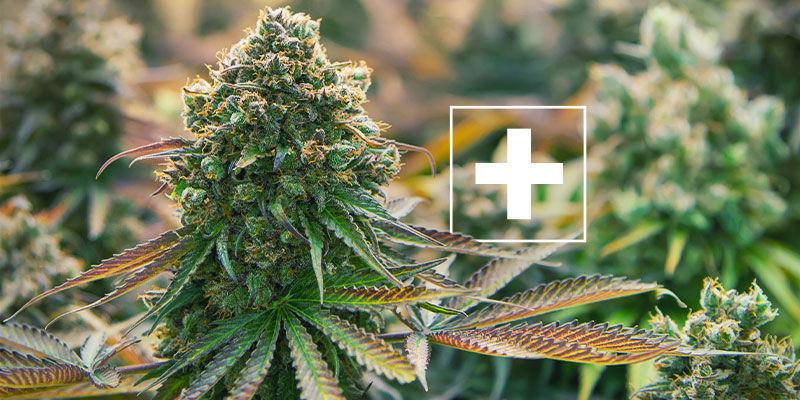 ¿Por Qué El Guano De Murciélago Es Bueno Para Las Plantas De Marihuana?