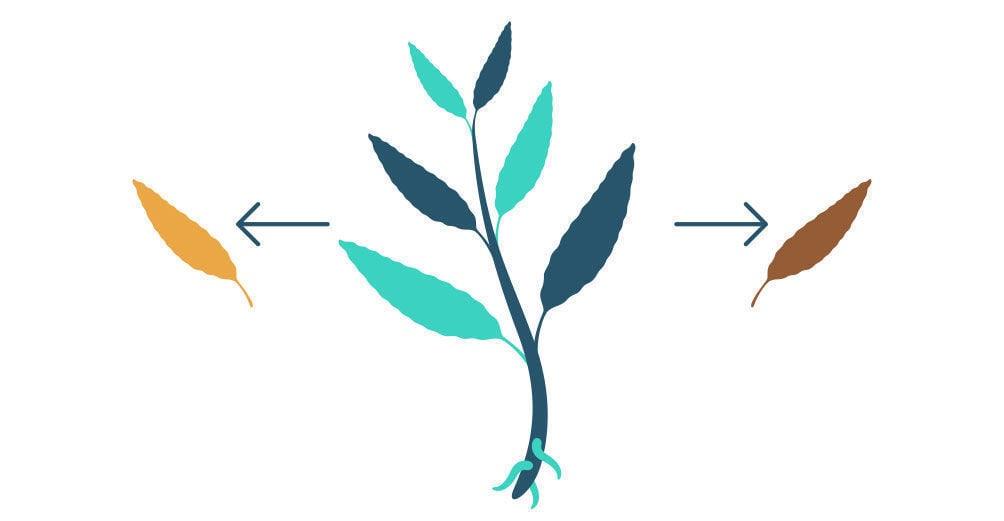 Etapa 1: Propagación De La Salvia Divinorum Con Un Esqueje