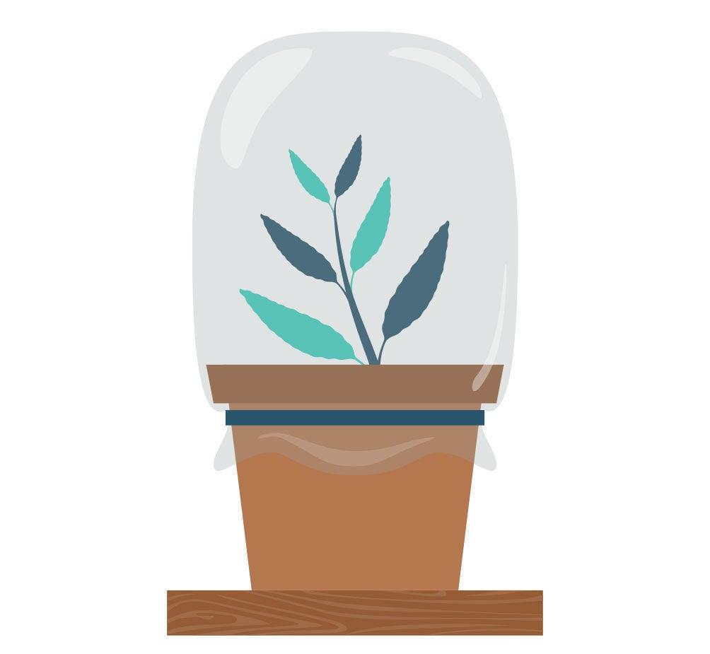 Etapa 5: Propagación De La Salvia Divinorum Con Un Esqueje