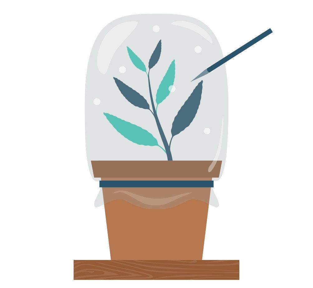 Etapa 7: Propagación De La Salvia Divinorum Con Un Esqueje