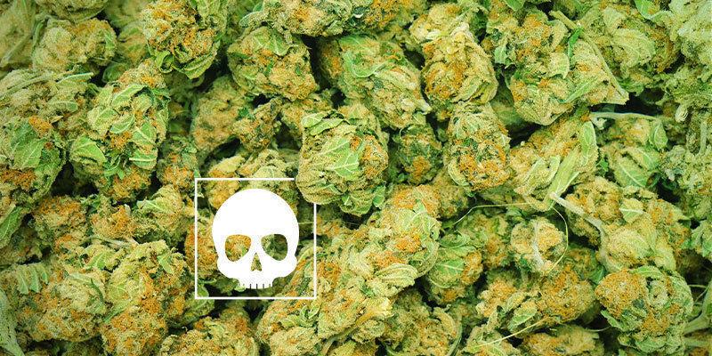 ¿Cuánto Cannabis Puede Causar La Muerte?