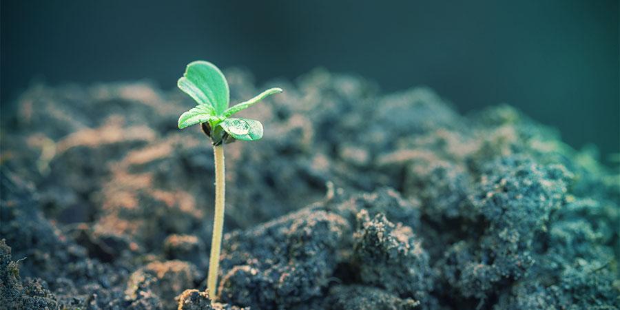 variedades autoflorecientes Producen Resultados Muy Rápidos