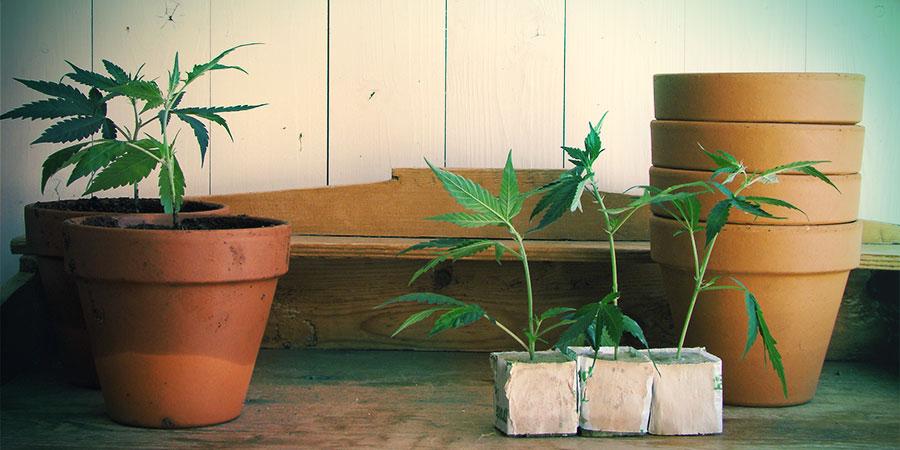 Las Cepas Autoflorecientes Son Aptas Para Su Cultivo Tanto Interior Como Exterior